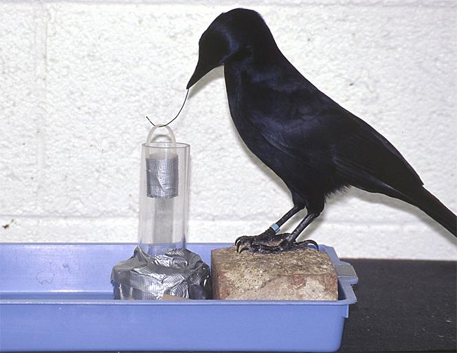 Вороны используют инструменты