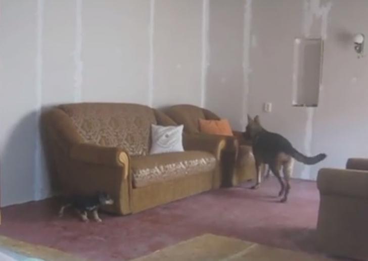Фото №1 - Виртуозная игра в прятки от двух собак (видео-антидепрессант)