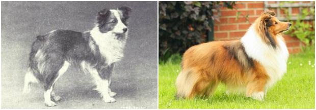 Фото №6 - Как изменились породы собак за 100 лет