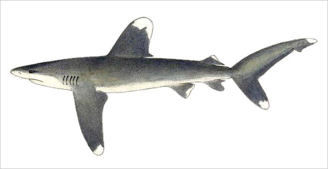 Фото №12 - Рыба-Гитлер. Исчерпывающий материал об акулах, после которого ты больше никогда не поедешь на море или океан
