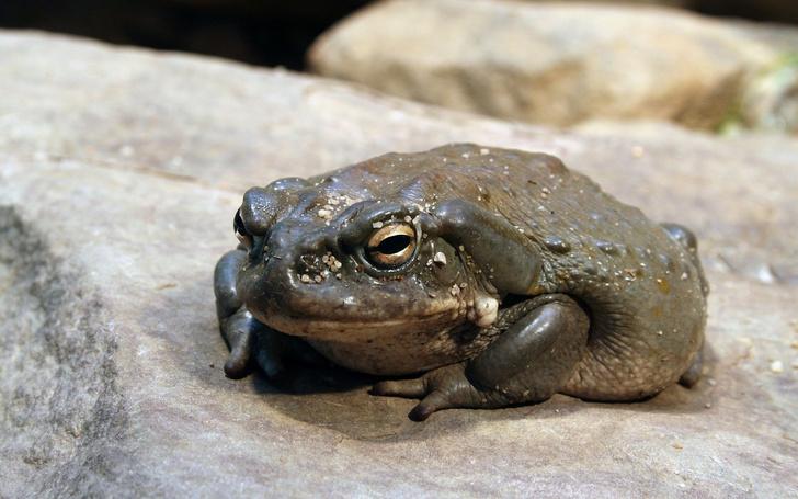 Фото №20 - 20 лучших фото жаб всех времен и народов!