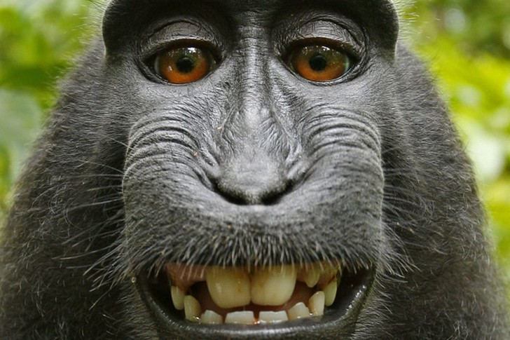 Фото №1 - Суд отказал обезьяне. Теперь окончательно