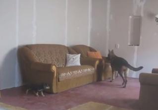 Виртуозная игра в прятки от двух собак (видео-антидепрессант)