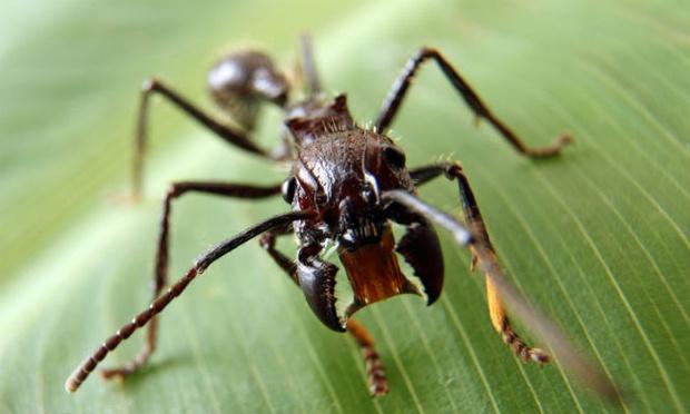 Фото №2 - Пять самых опасных насекомых