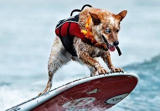 Созвездие мокрых псов: лучшие фотографии с собачьих соревнований по серфингу