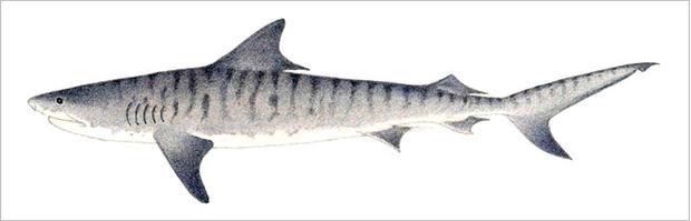 Фото №15 - Рыба-Гитлер. Исчерпывающий материал об акулах, после которого ты больше никогда не поедешь на море или океан
