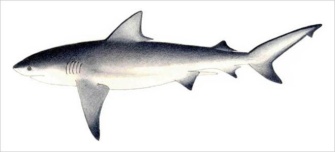 Фото №17 - Рыба-Гитлер. Исчерпывающий материал об акулах, после которого ты больше никогда не поедешь на море или океан