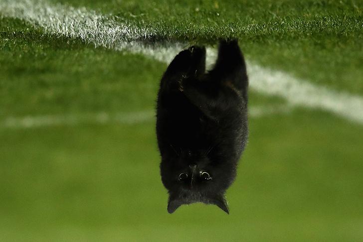 Черный кот в Австралии