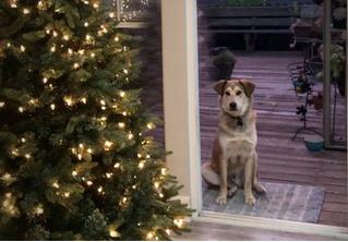 Собака не может попасть домой из-за «невидимой» двери (видео)