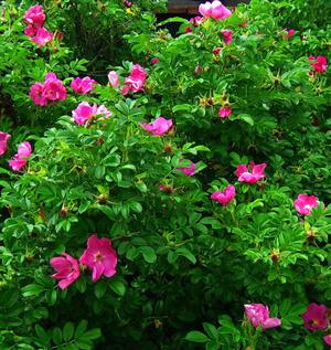 Фото №8 - 10 растений для ленивых садоводов
