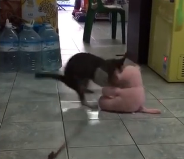Фото №1 - Кот выполнил сложнейший боевой бросок и стал звездой Интернета! Яростное ВИДЕО
