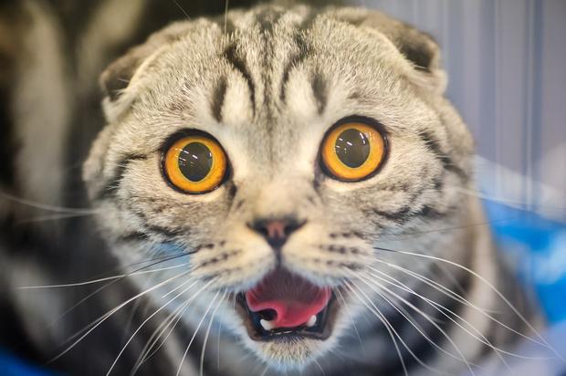 Фото №1 - Скоро ты научишься понимать, что говорит твой кот!