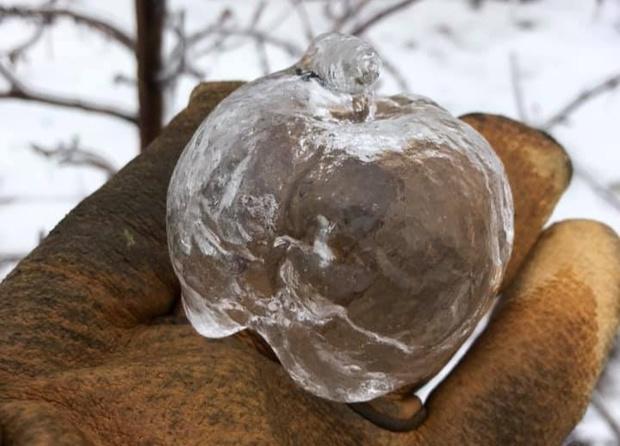 Фото №1 - Яблоки-призраки: редкая и прекрасная шутка природы (фото и объяснение прилагаются)