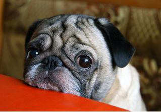 Ученые доказали, что в ходе эволюции собаки научились делать жалостливую морду
