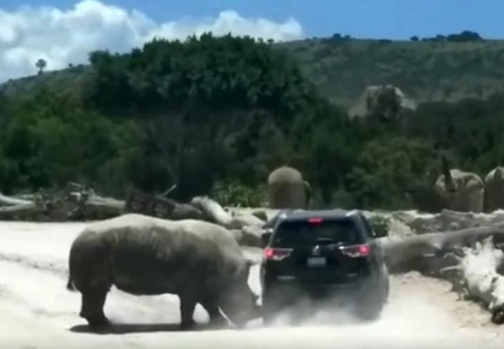 Фото №1 - Носорог атаковал автомобиль с людьми. Зрелищное ВИДЕО!