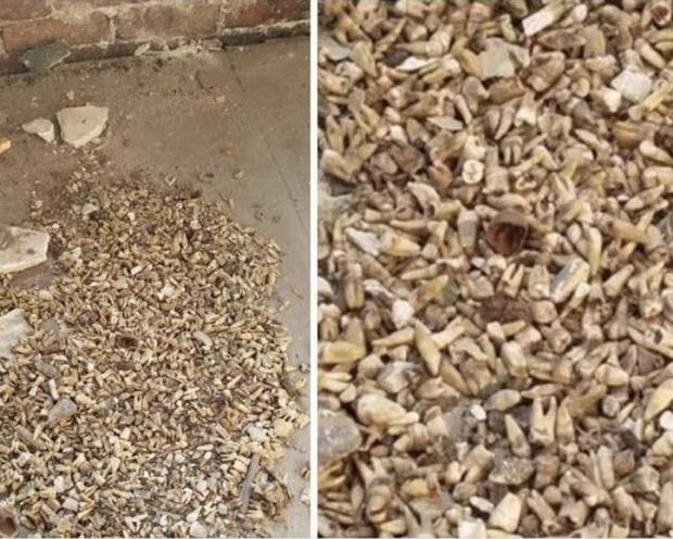 Фото №3 - Рабочие нашли в стене тысячу зубов во время ремонта