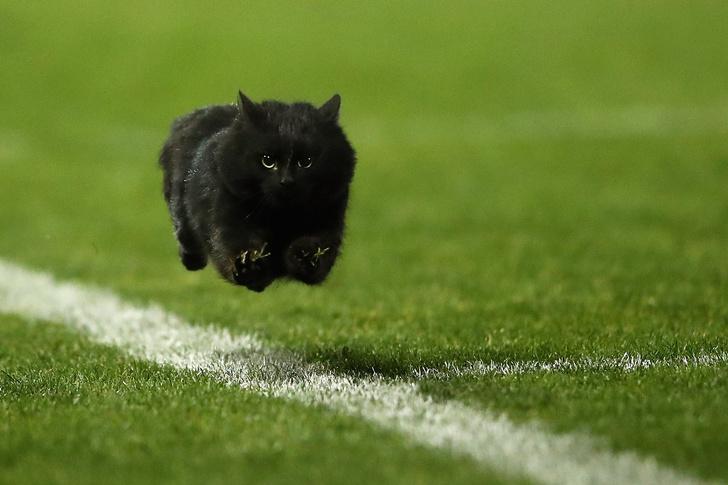 Фото №2 - Шикарный черный кот стал главной звездой регбийного матча