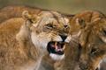 Фото №1 - Охота на тигров и львов в Огайо