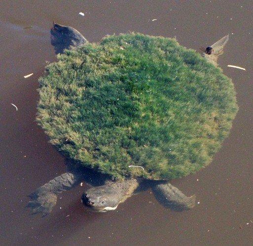 Фото №2 - Черепаха, которая выглядит как панк и дышит гениталиями, попала в Красную книгу!