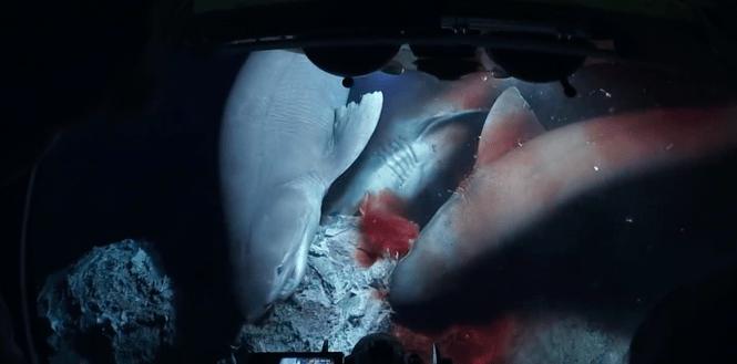 Батискаф прервал трапезу акул, они возмущены (ВИДЕО)