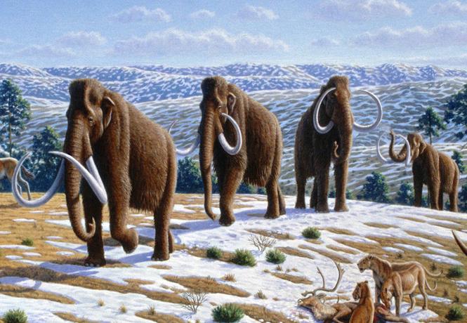 Мамонтов в массы! Ученые всерьез намереваются воскресить волосатых слонов