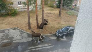 Два лося подрались из-за возлюбленной прямо во дворе пятиэтажки (видео)