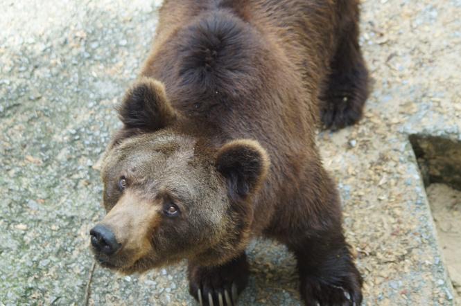 Медведь похитил два ружья и пустился в бега