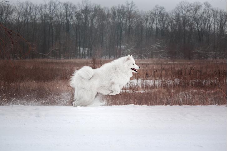 Фото №3 - Пять самых древних пород собак