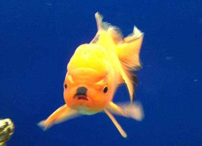 Золотая убер-рыбка