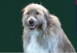 Упрямый пес отказался выполнять команды хозяйки, но стал главной звездой выставки (видео)