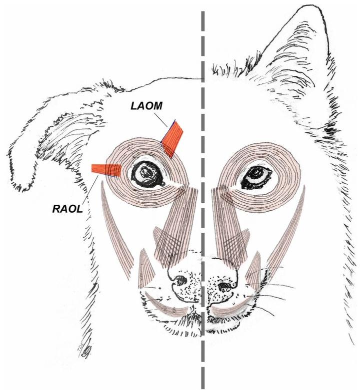 Фото №2 - Как в ходе эволюции собаки научились делать жалостливую морду