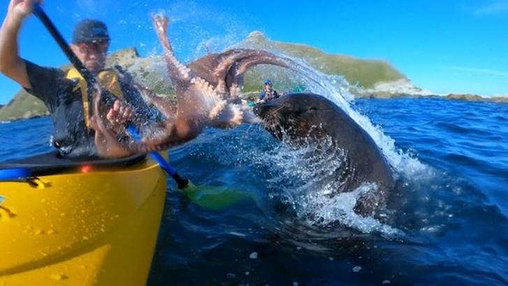 Фото №1 - Морской котик швырнул осьминога в лицо байдарочнику (видео)
