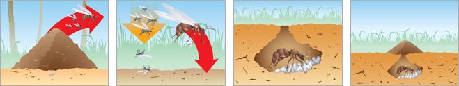 Фото №7 - Муравечество. Как мелкие козявки стали влиятельнейшими существами на планете