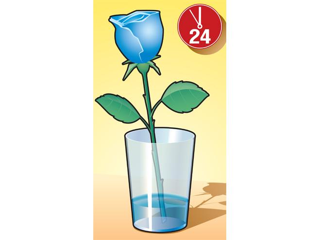 Роза перекрашена