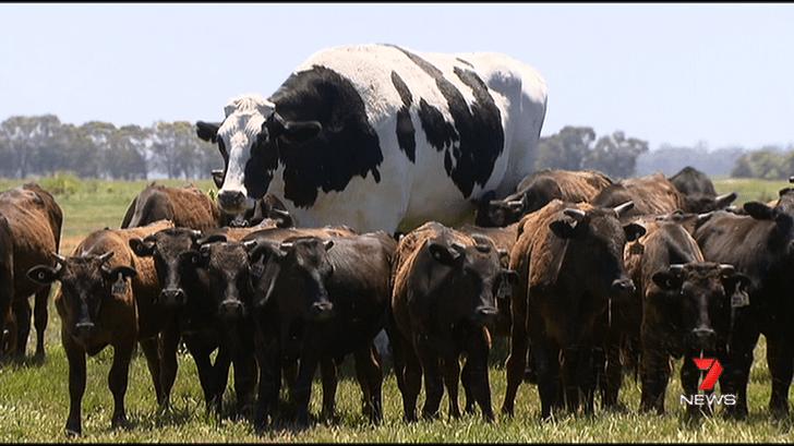 Фото №1 - Огромная корова избежала бойни благодаря своим размерам (видео)