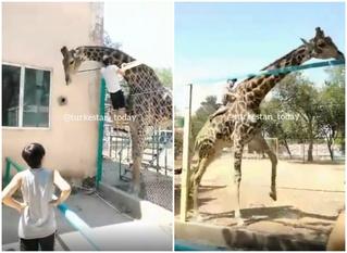 Парень перелез через забор и забрался на жирафа в зоопарке в Казахстане (видео)
