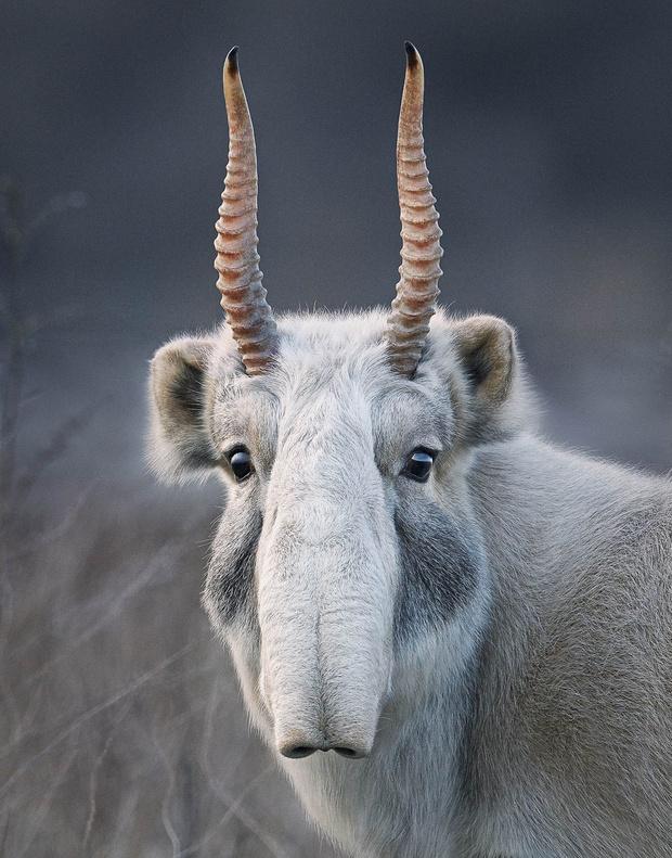 Фото №2 - 16 портретов вымирающих животных, которых ты рискуешь больше никогда не увидеть живьем
