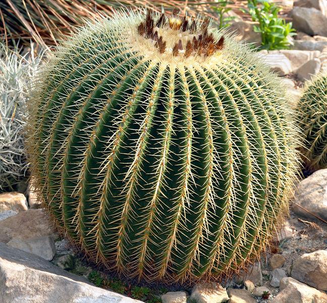 Фото №2 - Вырастить кактус