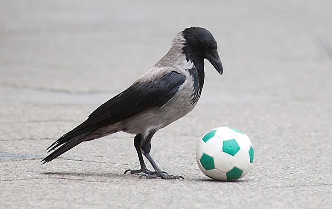Половину времени вороны играют