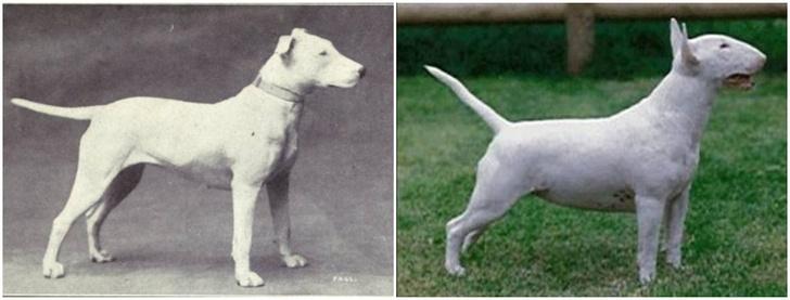 Фото №2 - Как изменились породы собак за 100 лет