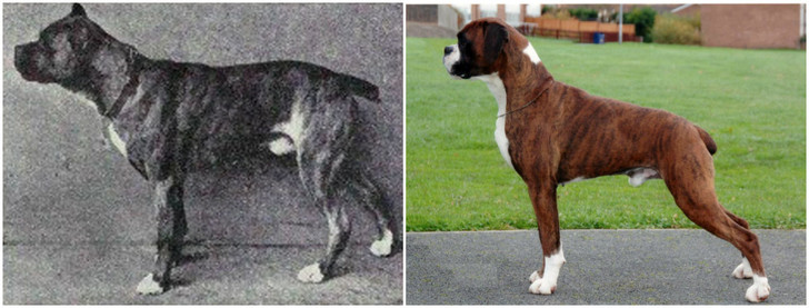 Фото №8 - Как изменились породы собак за 100 лет