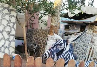 В зоопарке перекрасили осла в зебру
