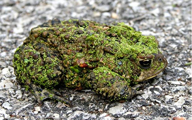 Фото №17 - 20 лучших фото жаб всех времен и народов!