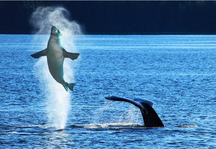 Фото №1 - Фотограф запечатлел момент, как кит случайно проглотил и выплюнул морского льва