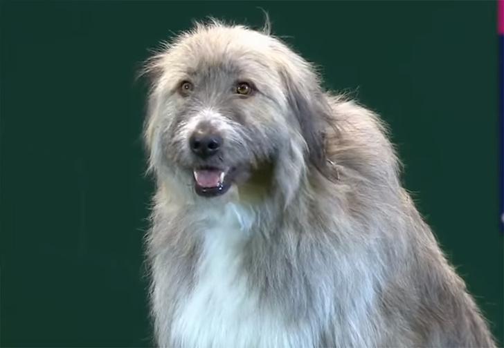 Фото №1 - Упрямый пес отказался выполнять команды хозяйки, но стал главной звездой выставки (видео)