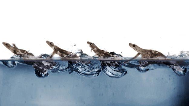 Фото №1 - Учёные объяснили, как гекконы бегают по воде