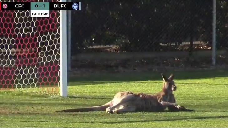 Фото №1 - Футбол по-австралийски: на матч припрыгал кенгуру и встал на ворота (ВИДЕО)
