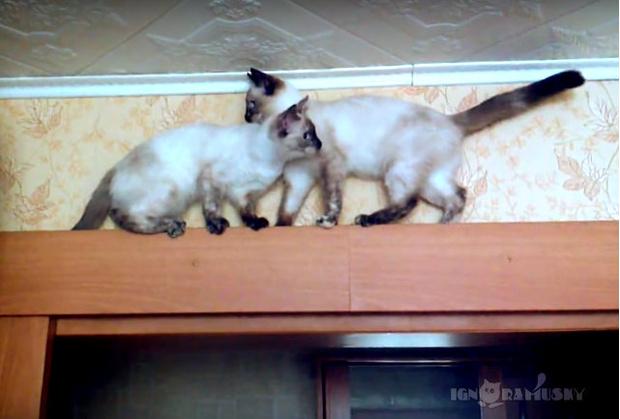 Фото №1 - Кошки не могут разойтись в узком месте. Выглядит так же идиотски, как шоферские разборки!
