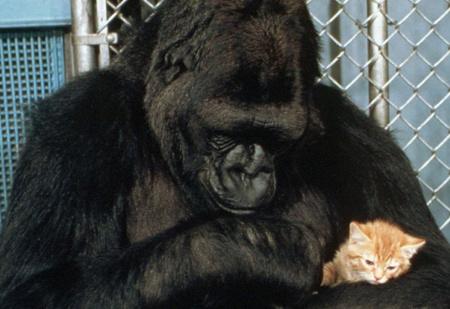 Умерла горилла Коко — первое животное, выучившее человеческий язык