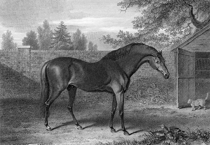 Арабский скакун Годольфин, привезенный в Англию в 1730 году